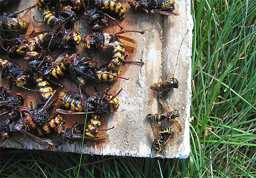 Wir bekämpfen Hornissen und Wespen auf dem Grundstück mit Fallen ...