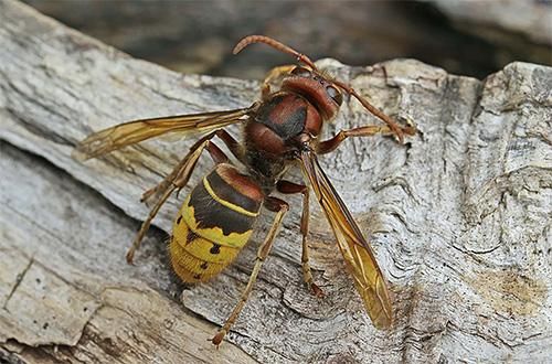 In jedem Fall müssen die Mittel zur Vernichtung von Wespen und Hornissen einzeln gewählt werden.