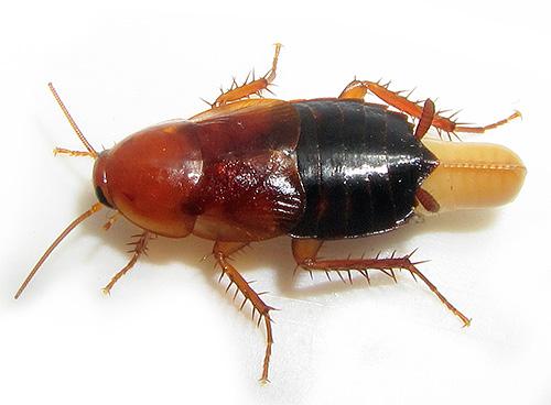 Das Foto zeigt eine Kakerlake mit einem Ödem.