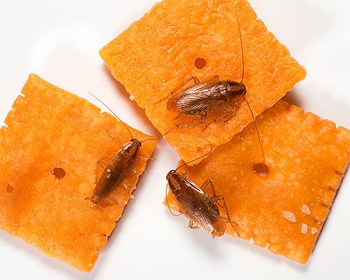 Inländische Kakerlaken kontaminieren Lebensmittel, wenn sie sich durch sie bewegen, was zur Ausbreitung von Infektionen beiträgt.