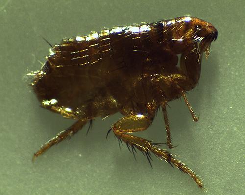 Zu den blutsaugenden Insektenparasiten zählen auch Flöhe.