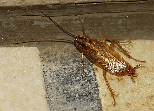 Obwohl Kakerlaken im Haus eine Person nicht direkt berühren, können sie eine Quelle verschiedener Infektionen sein.