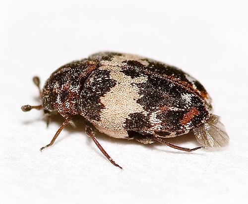 Dies kann wie ein Kozheed Käfer in einer hohen Vergrößerung aussehen.