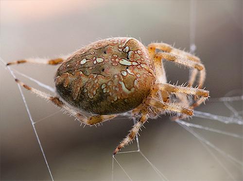 Kranichspinne im Netz (Araneus diadematus)