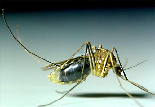 Moskitos leben in den meisten Fällen nicht lange im Haus und erscheinen hier nur, um menschliches Blut zu trinken