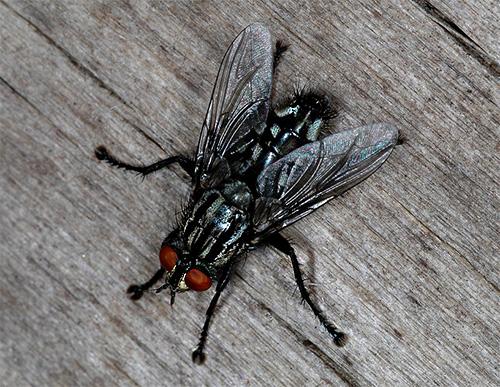 Graue Fliege (Sarcophagidae)