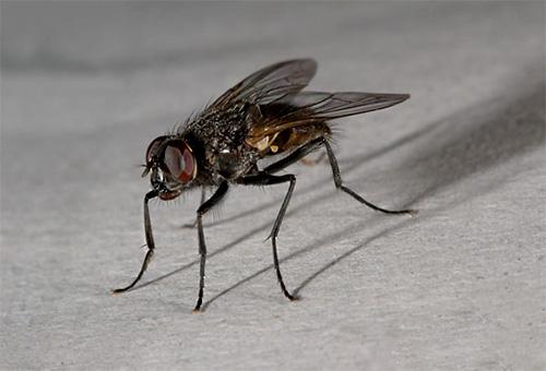 Eine Stubenfliege kann nur in einem Herrenhaus gefunden werden.