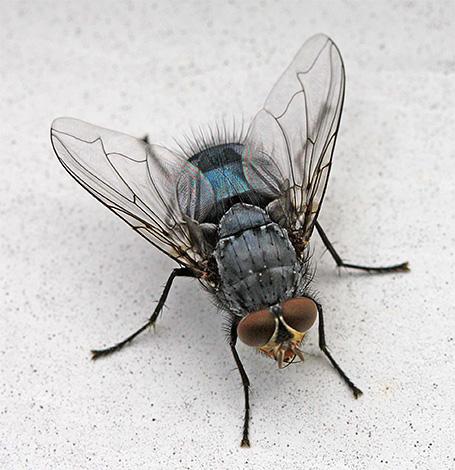Und einige Insekten, die zu Hause gefunden werden können, sind zufällige Gäste von der Straße hier.