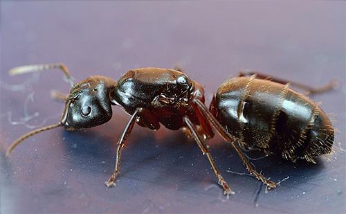 Rotbraune Borsterameise (Camponotus herculeanus)