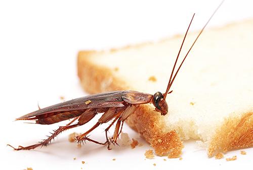 Die rothaarige Kakerlake gehört zu den häufigsten Schädlingen im Haushalt.