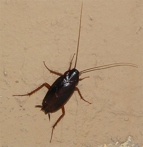 Das Foto zeigt eine schwarze Kakerlake