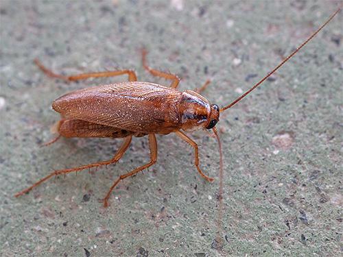 Inländische Kakerlaken können fast jedes Essen essen, das Spuren von organischer Substanz enthält.