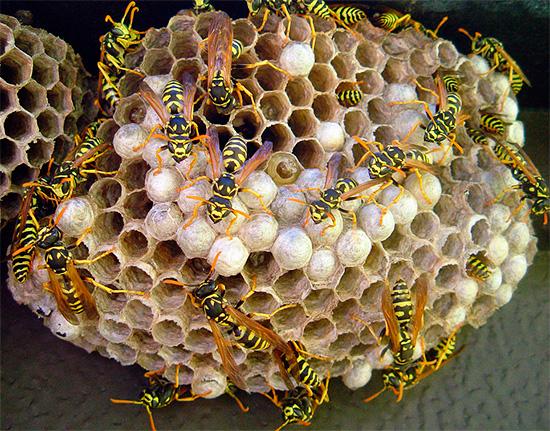 Dichlorvos ist sehr geeignet, Insekten im Nest schnell zu vergiften.