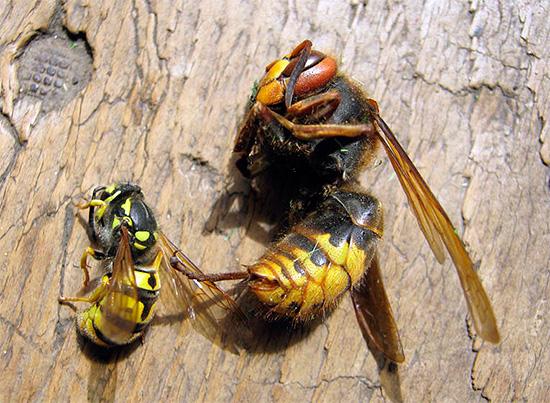 Die meisten modernen Insektizide haben ein breites Wirkungsspektrum, das Wespen, Hornissen, Fliegen, Ameisen und viele andere Insekten fast ebenso effektiv vernichtet.