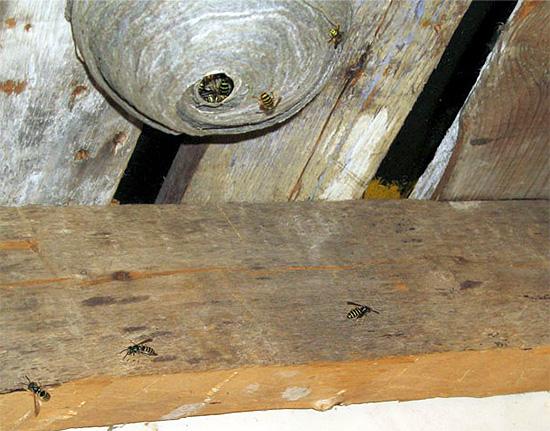Insektizidgel sollte auf Oberflächen in der Nähe des Nestes aufgetragen werden.