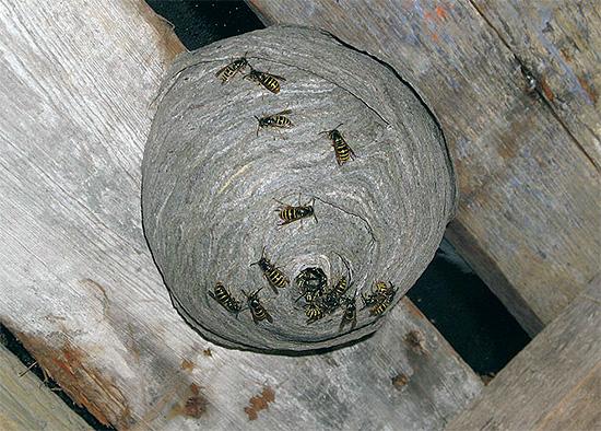 Das Foto zeigt ein Wespennest auf dem Dachboden eines Holzhauses.