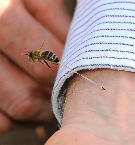 Im Gegensatz zu Hornissen und Wespen hinterlässt eine Biene einen Stich in der Haut des Opfers (zusammen mit einem Teil der inneren Organe), wenn es gebissen wird.