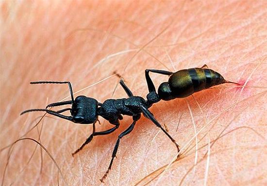 Ameisengeschosse gehören zu den schmerzhaftesten Insekten.
