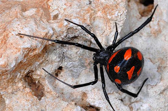 Die Bisse einer giftigen Spinne Karakurt sind tödlich für Menschen ...