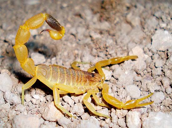 Foto eines gelben Skorpions