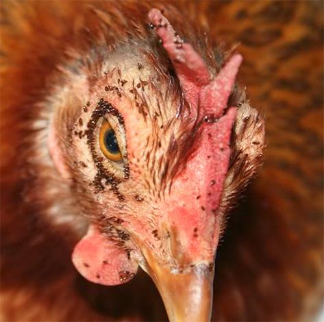 Massive Hühnerblockbisse können zum Einfrieren von Vögeln führen.