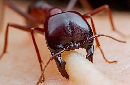 Mit Ausnahme einiger brennender Ameisen hinterlassen die Bisse dieser Insekten in der Regel nur kaum sichtbare Spuren auf der Haut.