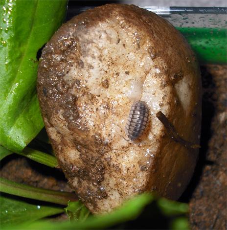 Mokritz kann mit verrotteten Kartoffeln in eine Wohnung gebracht werden, aber in einem trockenen Raum haben sie praktisch keine Chance auf langfristiges Überleben.
