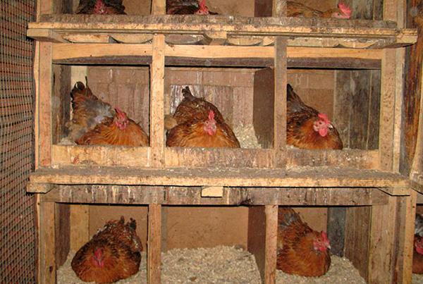 Oft züchten Insekten in Hühnerställen.