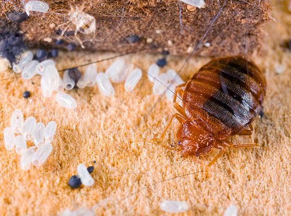 Versuchen wir herauszufinden, wie man die Vorbeugung von Bettwanzen in der Wohnung richtig organisiert, um Ihr Zuhause zuverlässig vor dem Auftreten dieser Parasiten zu schützen ...