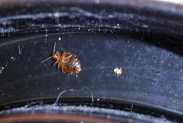 In Gegenwart von Oberflächen, die mit einem insektiziden Mittel behandelt sind, werden isolierte Individuen von Käfern sterben, selbst wenn sie in eine Wohnung gelangen, beispielsweise von Nachbarn.