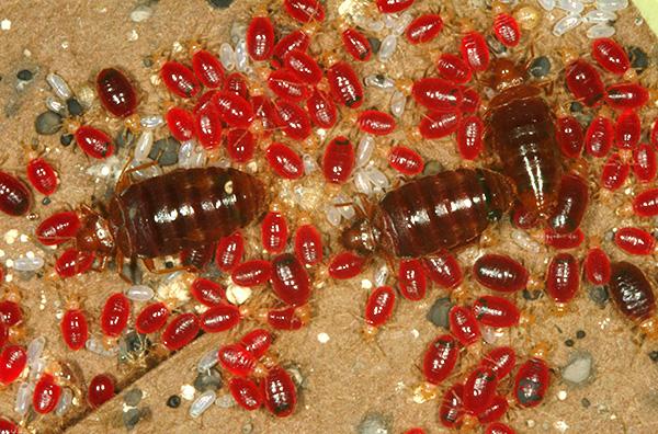 Das Foto zeigt Käfer, betrunkenes Blut.