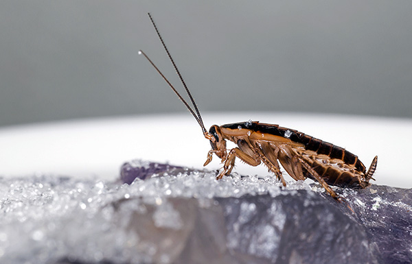 Die meisten modernen Insektizidpulver töten Kakerlaken aufgrund der doppelten Vergiftung - Kontakt und Darm.