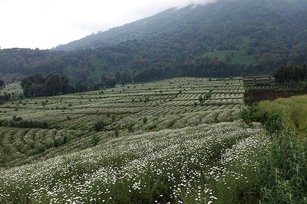 Die natürlichen Insektizide von Pyrethrinen sind in den Blüten einiger Margeritenarten zu finden.