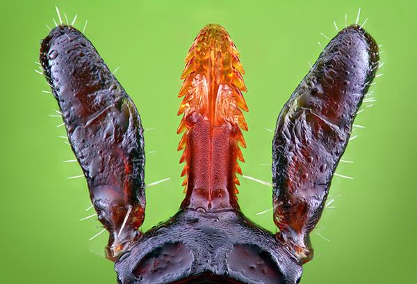 Die Hypostoma-Zecke wird wie eine Harpune in der Haut gehalten.