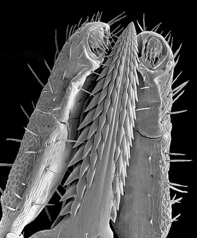 Das Auftreten des Zeckenrüssels unter dem Mikroskop.