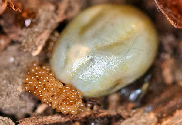 Die blutgetränkte weibliche Milbe legt Eier aus Laub.