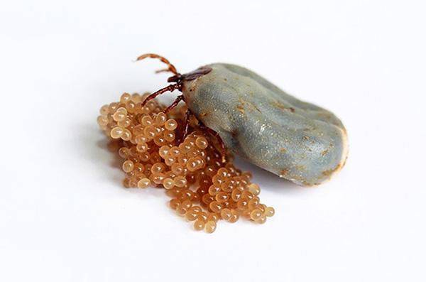 Nach dem Eierlegen stirbt das Weibchen schnell.