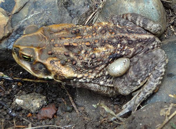 Ixodide können auch Kröten und Frösche parasitieren.